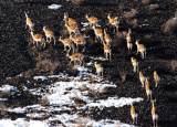 卡拉麦里山的鹅喉羚