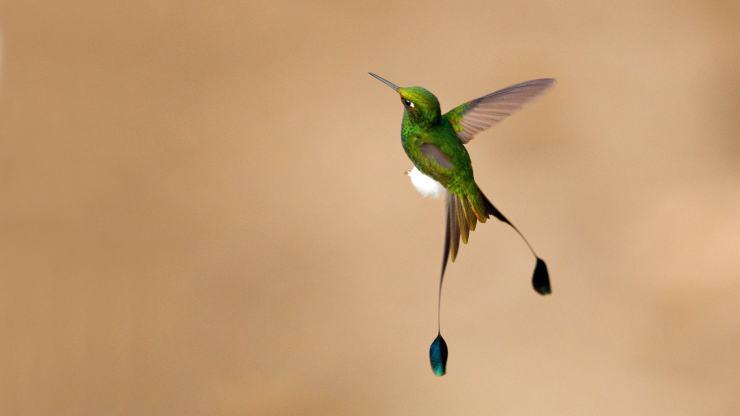 图中的蜂鸟羽毛闪耀着金属光泽,脚部有靴状的白色绒毛,尾羽两根长翎更