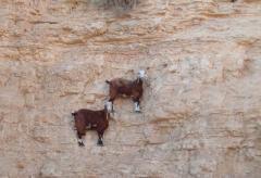 会当凌绝顶:生活在悬崖峭壁上的落基山羊