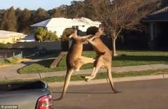澳大利亚雄袋鼠公然当街斗殴:无影脚狂踢对方