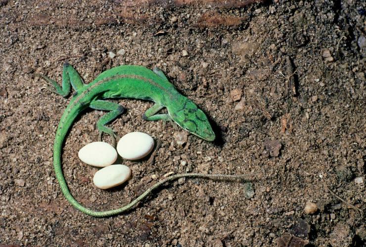 爬行动物的羊膜卵则可以有效保水,使它们能在陆地上生蛋繁衍.
