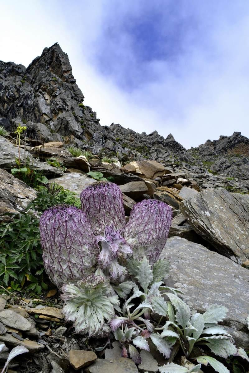 水母雪兔子拍摄于四姑娘山风景区巴郎山山顶雪莲花开——水母雪兔子