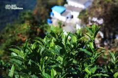 读一片树叶的故事:山中问茶 林中访秋