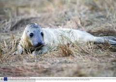 母海豹生产全过程:新生幼崽神情呆萌
