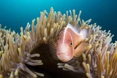 神奇古怪的海底生命:埃氏吻鲉一脸囧态
