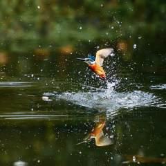 翠鸟捕鱼瞬间