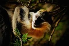 非洲●�L尾猴