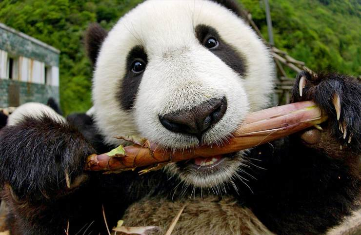 幼儿园熊猫吃竹子手工图片