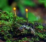 那么多種蟲草,為什么大多數人只知道冬蟲夏草?