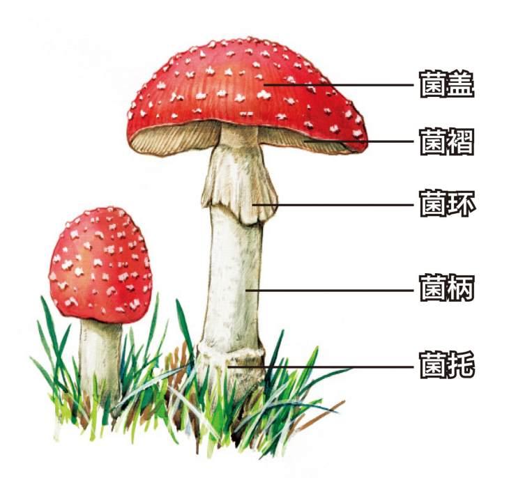 蘑菇结构解析