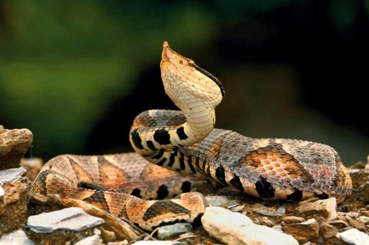 知我网官网_追踪致命毒蛇 | 中国国家地理网