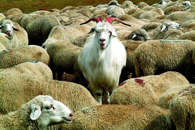 牲畜对牛_山羊 | 中国国家地理网
