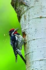 啄木鸟——铜头铁嘴凿木匠
