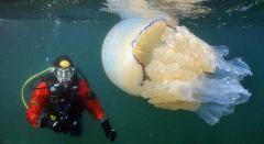 气候变暖致浮游生物聚集引来35公斤巨型水母