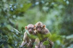 武夷山短尾猴