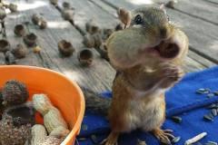 摄影师抓拍贪吃金花鼠储粮过冬:嘴巴塞满食物