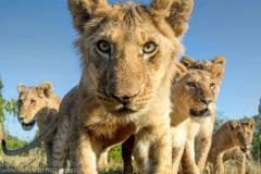 遥控相机野外抓拍狮子:狂野不羁又好奇呆萌