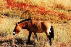 普氏野马在原生地新疆的灭绝与繁衍