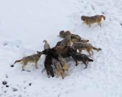 黄石公园狼群捕猎凶猛雌性野牛:无情追击猎杀