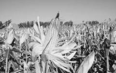 玉米种植引起北半球碳循环变化