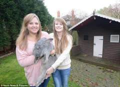 英国巨兔身材秒杀宠物狗:重6公斤身长1米