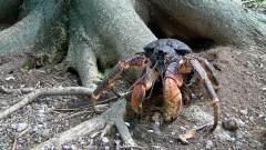 印度洋小岛上的奇特椰子蟹:吃椰子捕杀老鼠