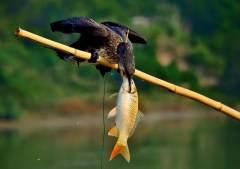 古老的传承:鸬鹚捕鱼
