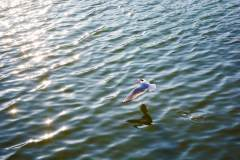 欢迎远方的客人——昆明的红嘴鸥