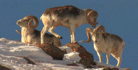 中國國家地理科考志愿者項目:走進東天山 調查珍稀盤羊