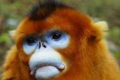 秦岭山中的野生金丝猴