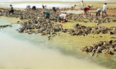 黄海滩涂挖蛏人