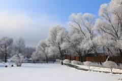 银花盛开,便知冬来