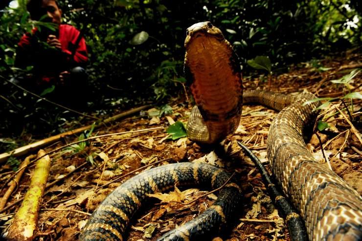 动物世界之最大的蛇_挑战毒蛇之王   中国国家地理网
