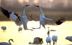白鹤的争斗