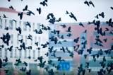乌鸦——穿夜行衣的智多星