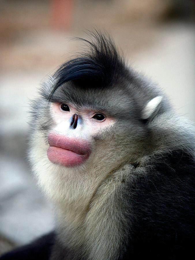 云南金絲猴的分布范圍和種群狀況