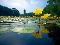 未名湖中水上花——荇菜