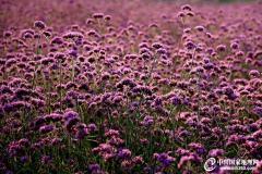 薰衣草——紫色情怀