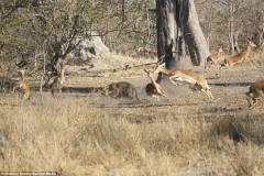 豹子高空跳下捕捉高角羚瞬间