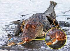 机智螃蟹狠狠夹住鳄鱼鼻子趁机成功逃生