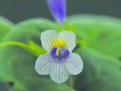 中科院华南植物园两植物新品种获国际认证