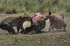 猎物争夺拉锯战:大胆鬣狗试图豹口夺食