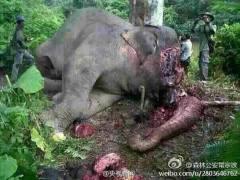 西双版纳森林一头大象惨遭砍头取牙