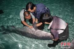 中华鲟子二代全人工繁殖获成功:孵鱼苗6万尾