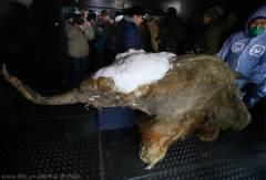 莫斯科展出冰封3.9万年长毛象:完整幼年雌象