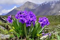 重走威尔逊之路——寻找巴朗山的高山花卉