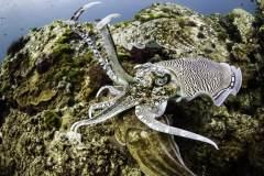 水下拍摄乌贼交配场面:盘踞礁石张牙舞爪