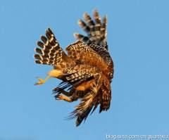 老鹰大战猫头鹰,谁是鹰中之王?