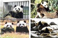"""劉定震:大熊貓的""""戀愛密碼""""——大熊貓生態行為大揭密"""