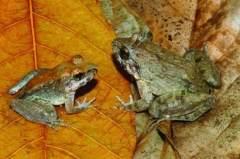 科学家发现青蛙新生殖方式:直接产蝌蚪(图)